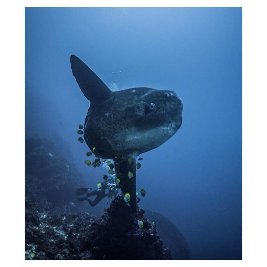 Learn the Etiquette to Dive with Mola Mola Bali